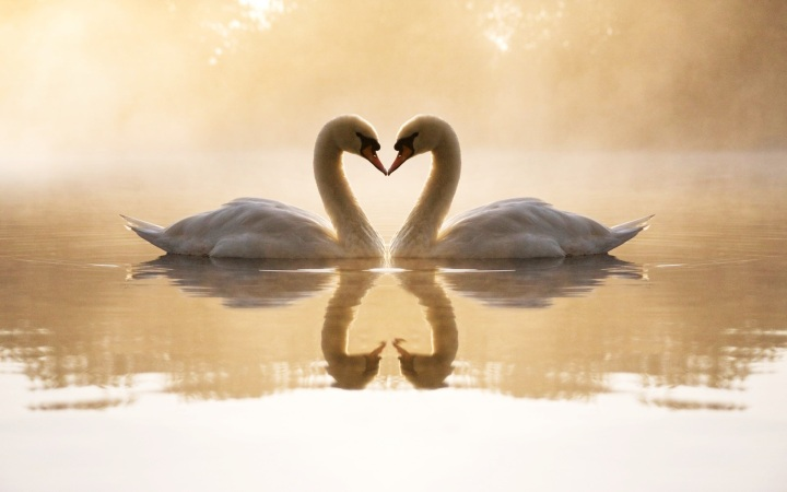 Love-Swans-Wallpaper
